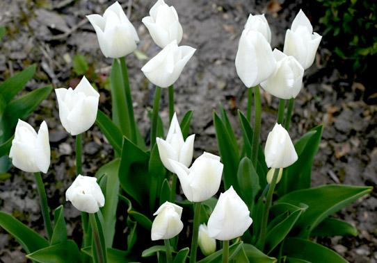 Tulpenpflege