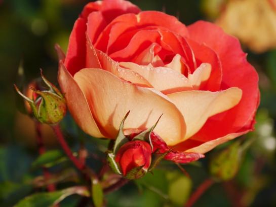 eine rose ist eine rose ist eine rose garten unterberg. Black Bedroom Furniture Sets. Home Design Ideas