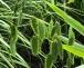 Pflanztip des Monats für schattige Gärten Chasmanthium latifolium – Plattährengras
