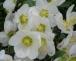 Christrose oder Schneerose – Helleborus niger