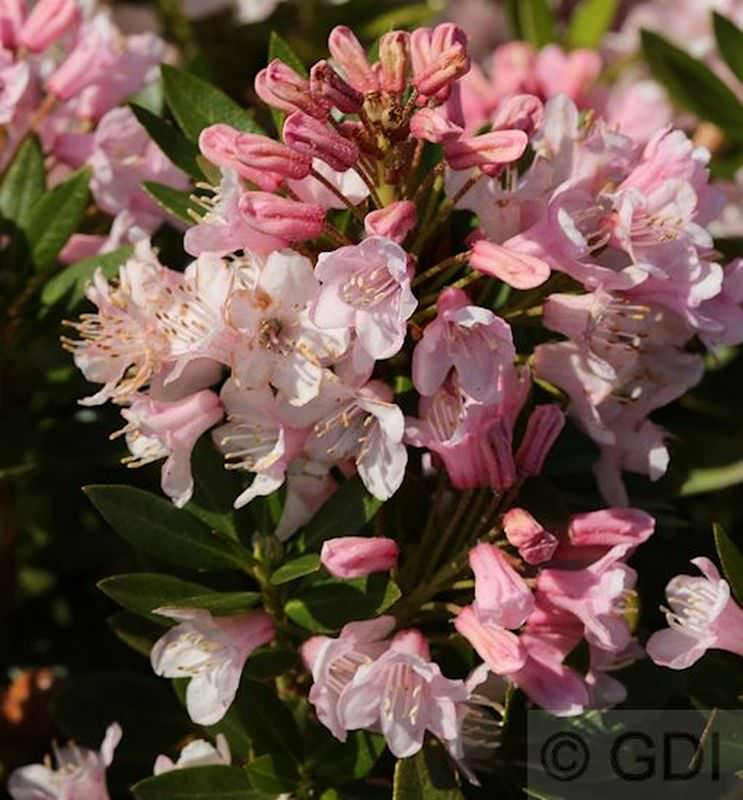 Rhododendron-micranthum-Bloombux