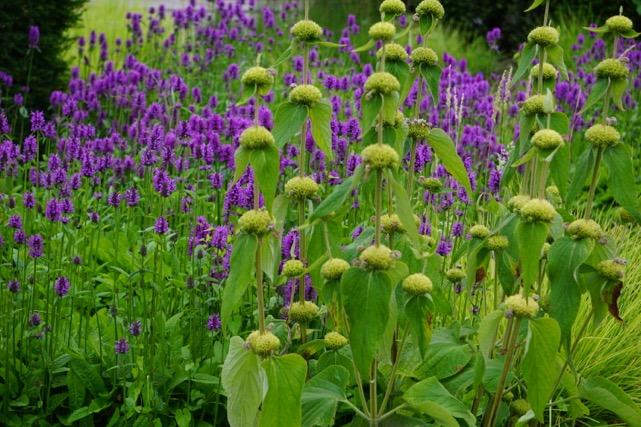 Pflanztip Schmuckstaude: Das Brandkraut – Phlomis russeliana