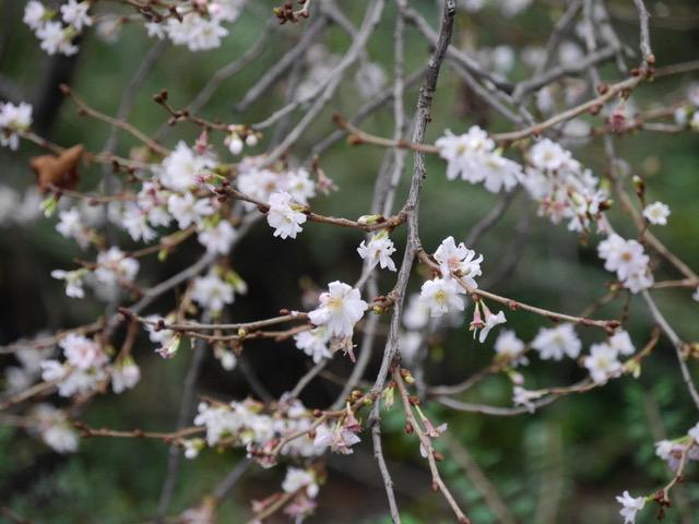 Winterzeit – die Zeit der Baumpflanzung <br>Prunus subhirtella 'Autumnalis' – die Winterkirsche
