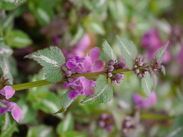 Pflanztip für Hummeln im Frühling<br>Lamium maculatum 'Chequers'<br>Purpur-Taubnessel