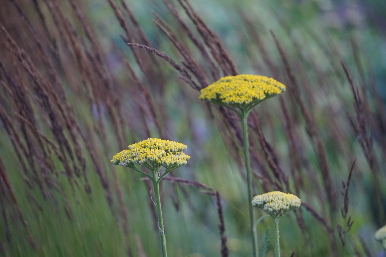 Schafgarbe - Gartenkalender im September